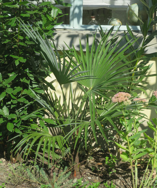 Trachycarpus princeps (new form) nimmt munter an Höhe zu.