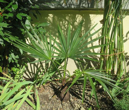 Trachycarpus geminisectus mit kräftiger Basis. Höhe mittlerweile bei 80 cm.