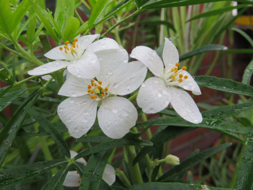 Choisya ternata 'Aztec Pearl' weist schmalere Blätter auf als die Art.