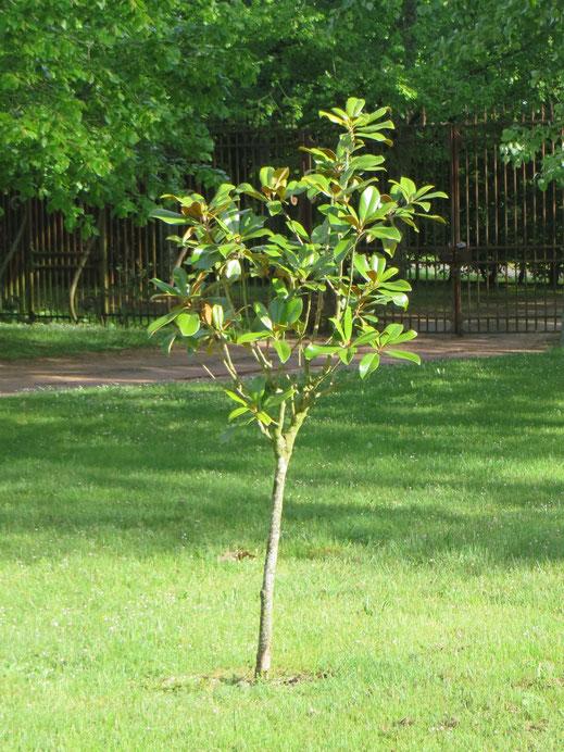 Magnolia grandiflora (immergrüne Magnolie) ausgepflanzt im Burgund