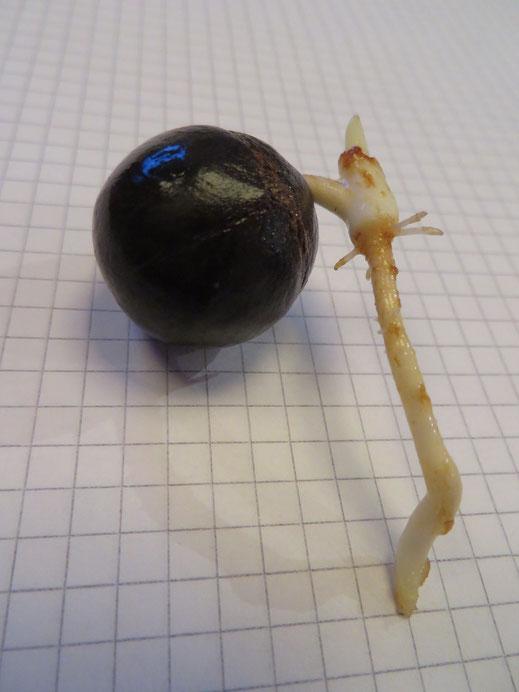 Gekeimter Samen von Jubaea chilensis: Optimales Pikier-Stadium