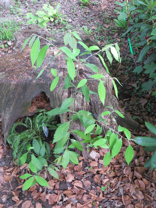 Quercus lanata ausgepflanzt in Schaffhausen