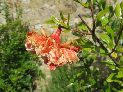 Punica granatum 'Legrellei' (Granatapfelbaum-Sorte mit gefüllter Blüte) im Burgund