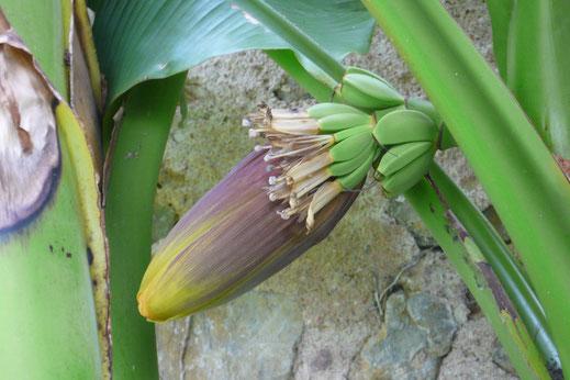 Blütenstand und unreife Früchte von Musa basjoo (Japanische Faserbanane)