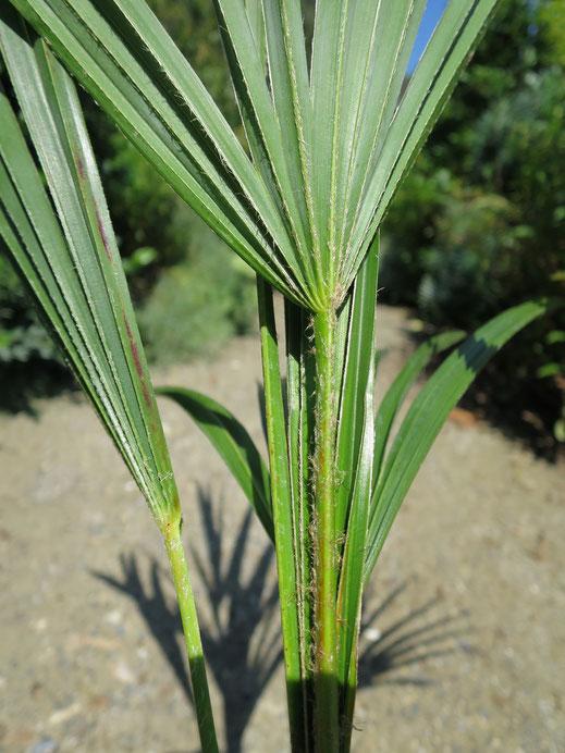 Trachycarpus sp. (Mount Victoria)