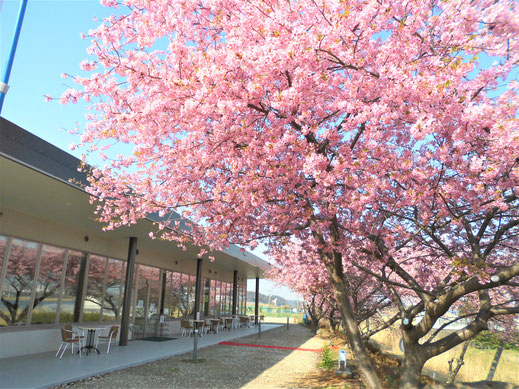 2月下旬から3月は河津桜が咲き、夜はライトアップします。