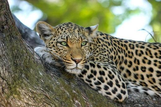 Leopard Familien Safari
