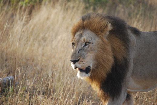 Löwe Südafrika Mietwagenreise