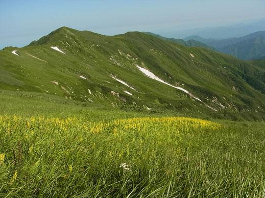 キンコウカで草原が黄色になってます