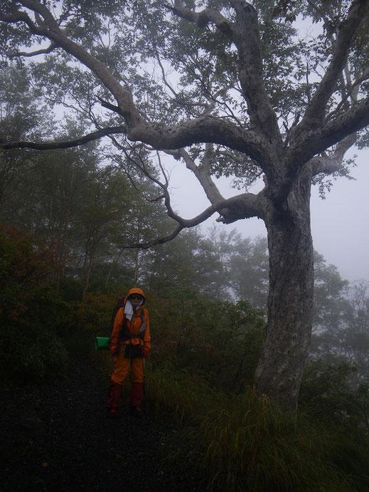 ダケカンバ巨木、しばらく巨木林が続きます