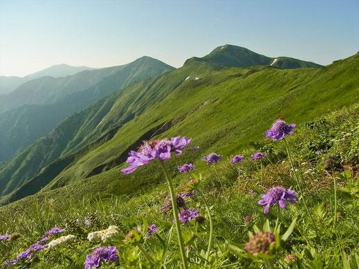 扇ノ地紙から下り始めます タカネマツムシソウと縦走路の山々