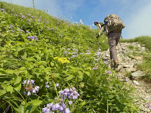 烏帽子岳南面のお花畑の中を登って行く