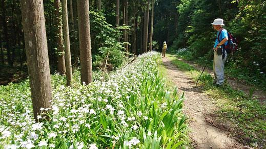 林道脇にはシャガの花が一面にとても綺麗でした