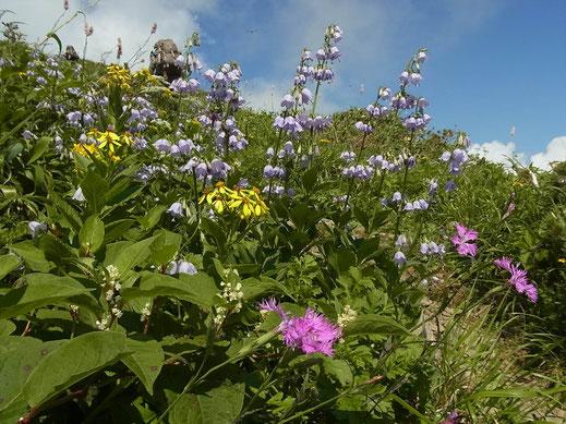 烏帽子岳南面のお花畑
