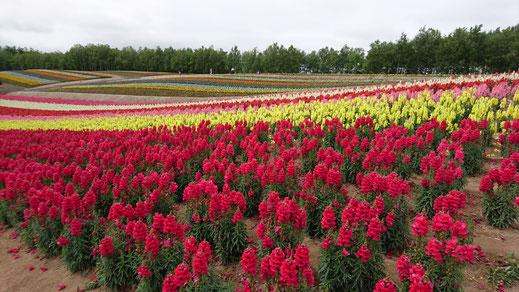 四季彩の丘のお花畑