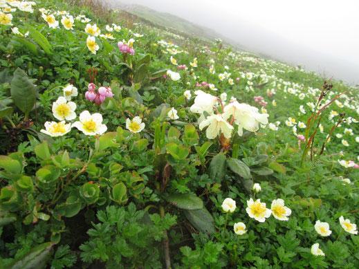稜線直下のお花畑