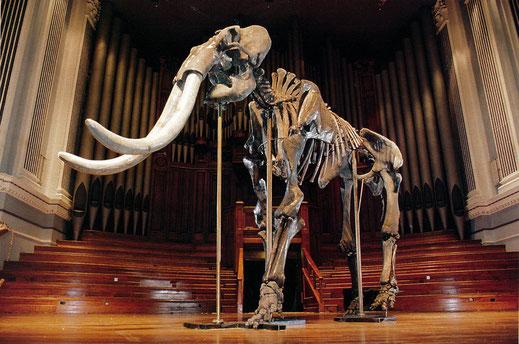 Скелет древнего слона возрастом около 800 тысяч лет, привезенный в Австралию М.М. Овчинниковым на выставку, которой до этого не видел никто в стране. Скелет был найден в 250 км к западу от Новосибирска.