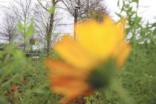 Wilde Blumen am Clevischen Ring. Foto: Eva Rusch