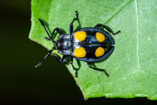 Eumorphus sp.
