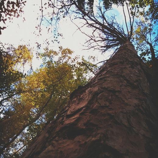 arbre foret suède écorce