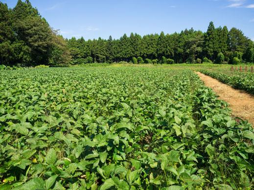 夏の大豆畑