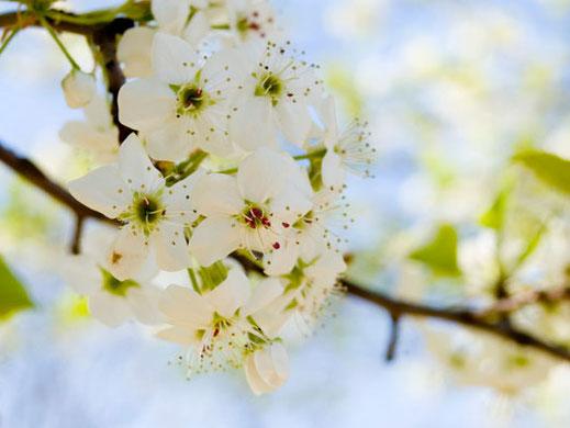... der Apfelbaum stand genau an der Stelle, wo der nächtliche Besucher untergetaucht war. Foto: © Scott Snyder / www.sxc.hu