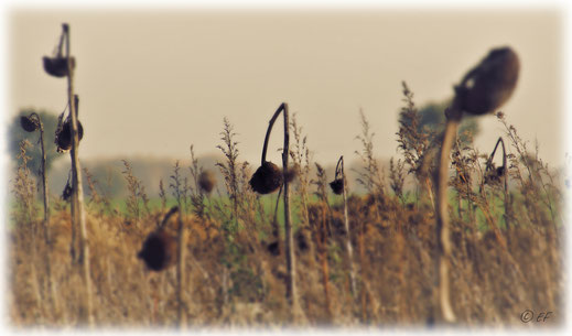 Ein Sonnenblumenfeld im Herbstlook