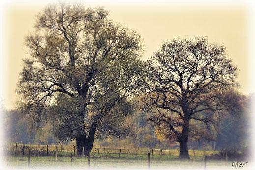 Die Weide & die Eiche im Herbstgewand