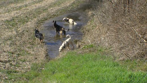 Balade canine - 4 chiens se rafraichissent dans une petite étandue d'eau