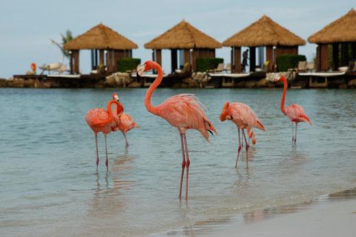 Flamingo Insel Karibik, Aruba