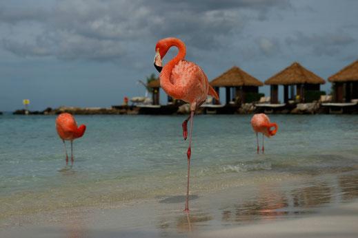 Flamingo Island Caribbean, Aruba