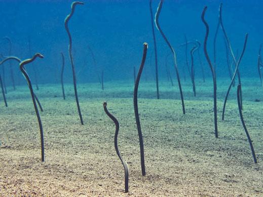 colonie d'anguilles jardinière sur le site de plongée de eel garden, menjangan, Bali.