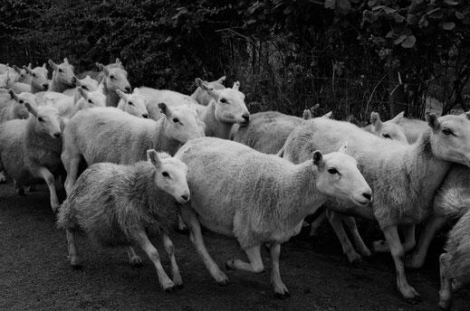 Schafe, Landwirtschaft, Bauer, Zerina Kaps