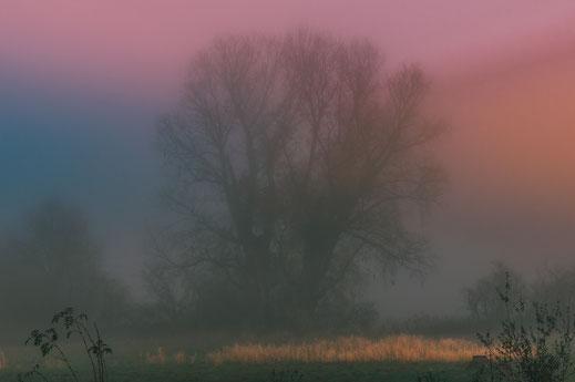 Einsame Pappel im dichten Nebel