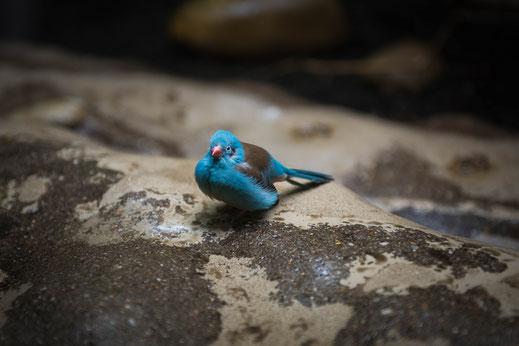 Afrikanischer Vogel Blauer Schmetterlingsfink Prachtfink