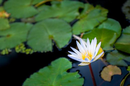 Aufblühende weiße Teichrose Wasserpflanze im Teich