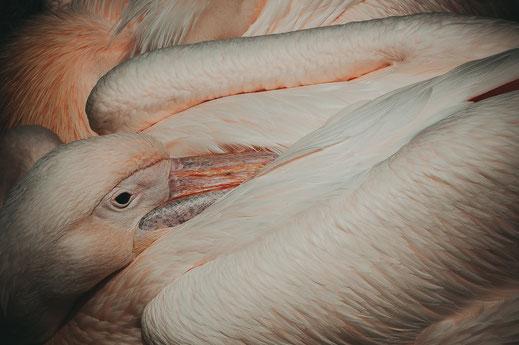 Rosa Pelikan gönnt sich ein Nickerchen