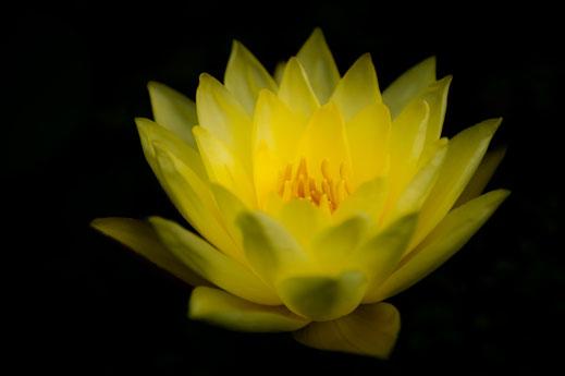 Blühende gelbe Wasserrose im Teich
