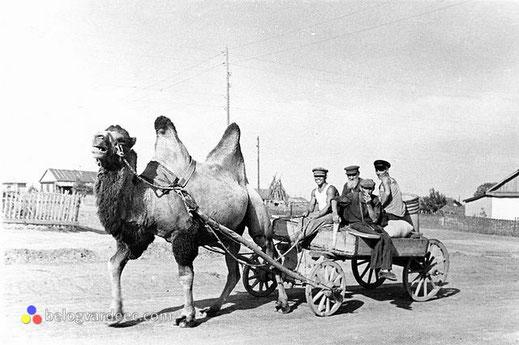казаки на верблюде, фото казаков, дон,