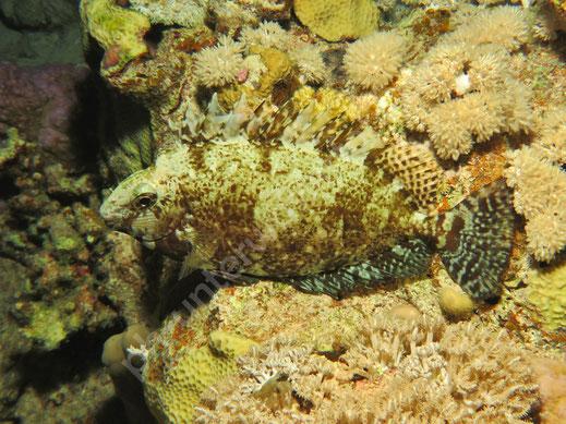 Seegras Lippfisch