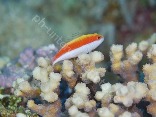 Korallenwächter (juvenil)