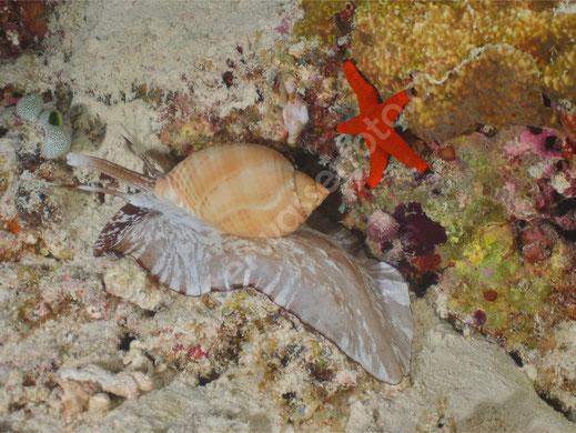 Indopazifische Fass Schnecke & Indischer Seestern