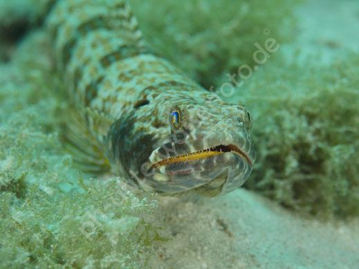 Sand Eidechsenfisch