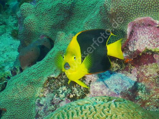 Dreifarben Kaiserfisch