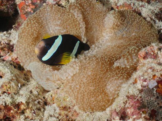 Indischer Anemonenfisch