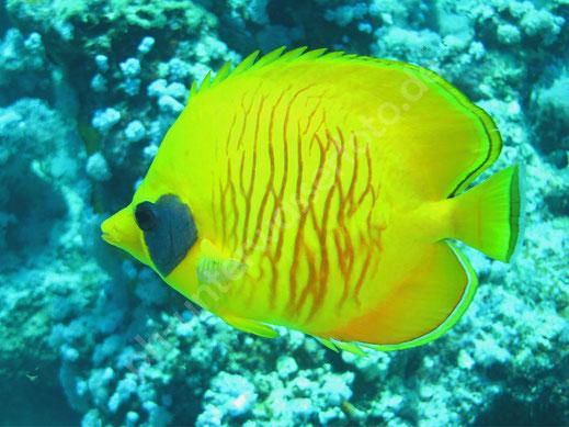 Rotkopf Falterfisch