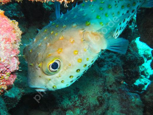 Gelbflecken Igelfisch