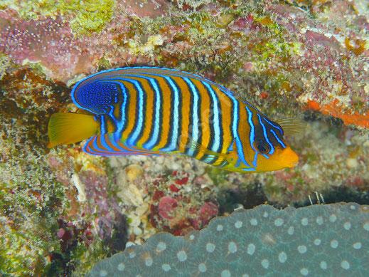 Pfauenaugen Kaiserfisch