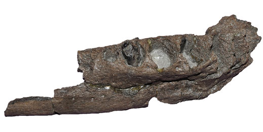 Lagenanectes mandible in lateral view