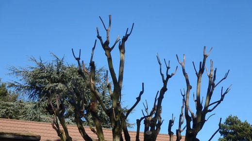 Taille courte sur Érable à feuilles argentées